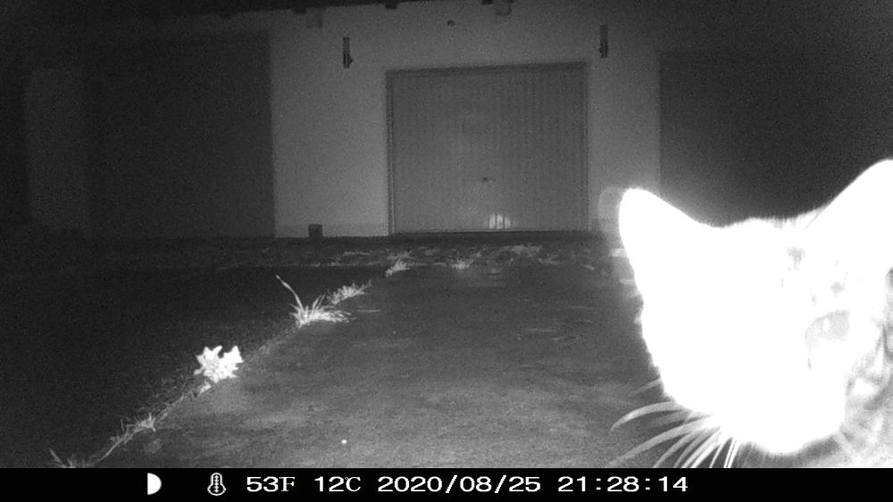 Nachtaufnahme in s/w einer Wildkamera, ein überbelichteter Katzenkopf vor der Kamera