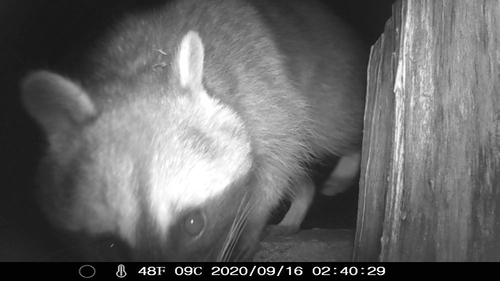 Nachtaufnahme in s/w einer Wildkamera, ein Waschbär ganz dicht vor der LInse