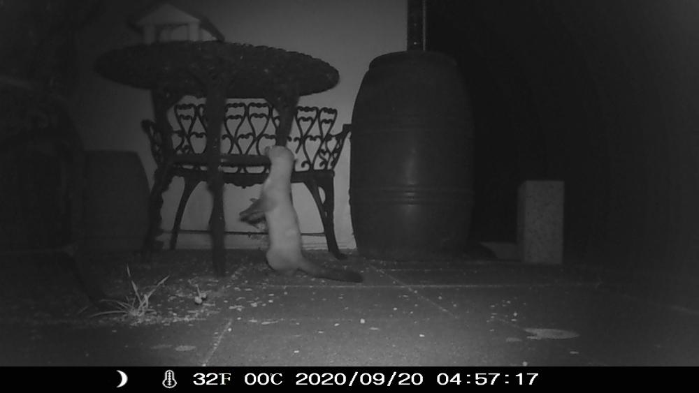 Eine Nachtaufnahme in s/w mit einer Wildkamera. Das Foto zeigt ein Tier, das ein Marder sein könnte, welches an einem Gartentisch schaut, ob darauf was leckeres liegt.