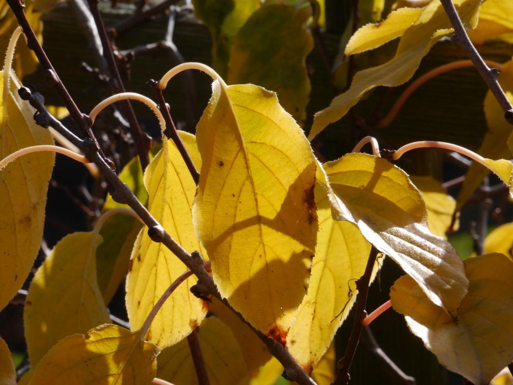 Das Foto zeigt gelbe, herbstliche Blätter, die von hinten von der Sonne beschienen werden.