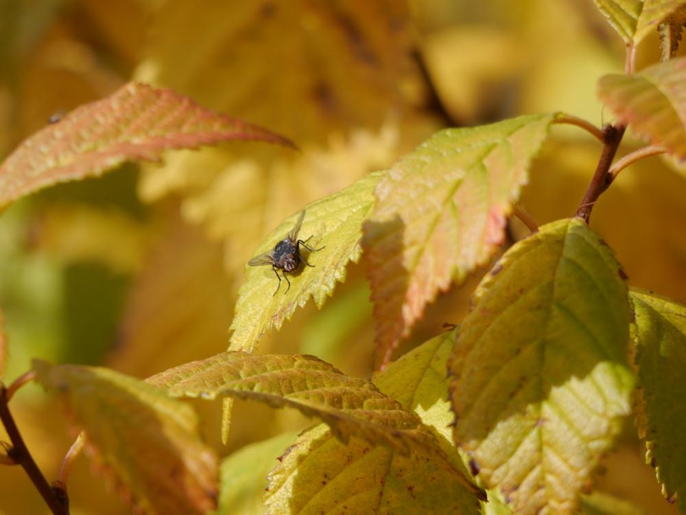 Das Bild zeigt viele gelbe Blätter, auf einem sitzt eine Fliege