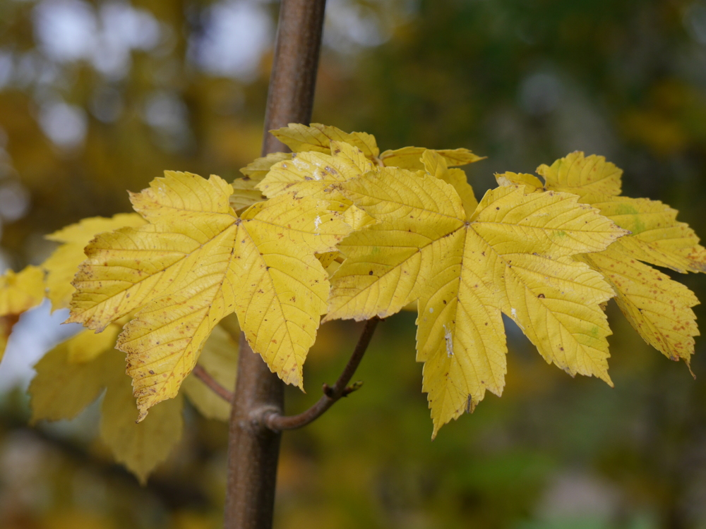 Das Foto zeigt gelbe Blätter an einem recht dünnen Ast