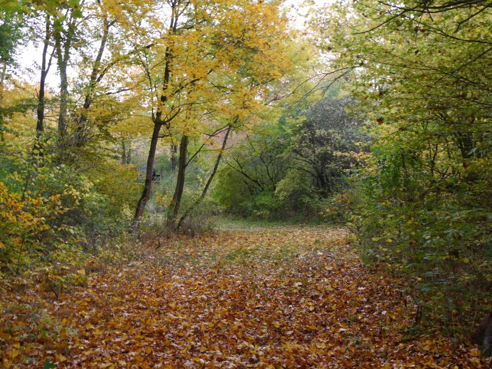 Ein Waldweg, von Laub bedeckt und daneben herbstlich gelbe Blätter an den Bäumen