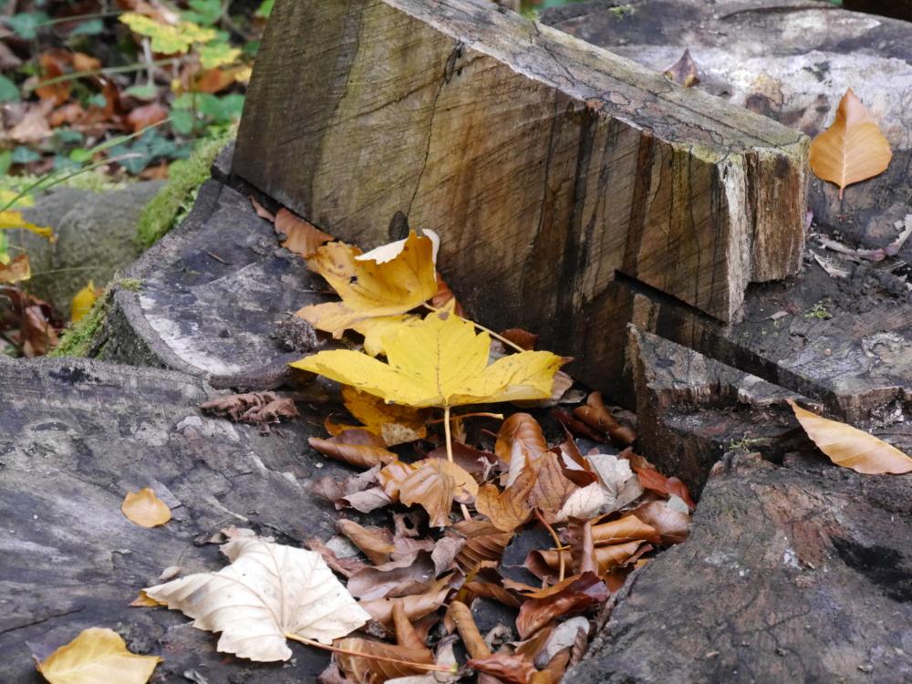 Dasa Foto zeigt einen Baumstompf, man sieht Sägespuren und auf dem Stumpf liegt ein gelbes und viele kleinere Braune Blätter.