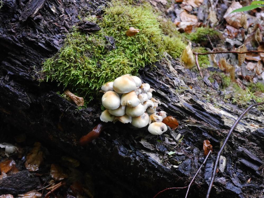 Auf eine alten, morschen Baumstam sind Pilze und Moos, alles ist Naß da das Bild bei Regen entstanden ist.
