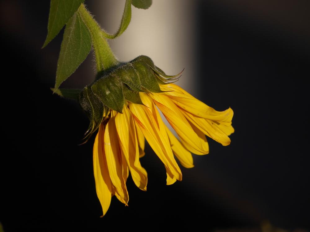 Die Blüte einer Sonnenblume im Gegenlicht. Die gelben Blütenblätter heben sich gut von dem fast schwarzen Hintergrund ab.