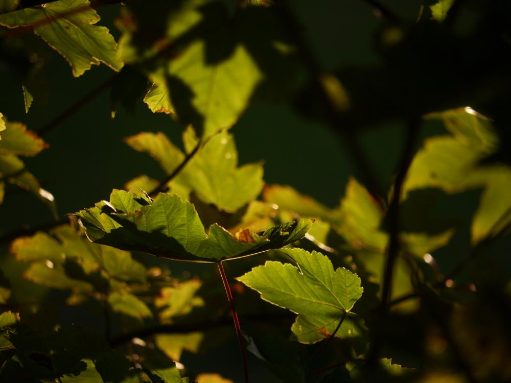 Das Bild zeigt grüne Blätter, die teilweise vond er Sonne beleuchtet werden und dadurch leuchten. Es ist alles ziemlich grün und schwer zu beschreiben.