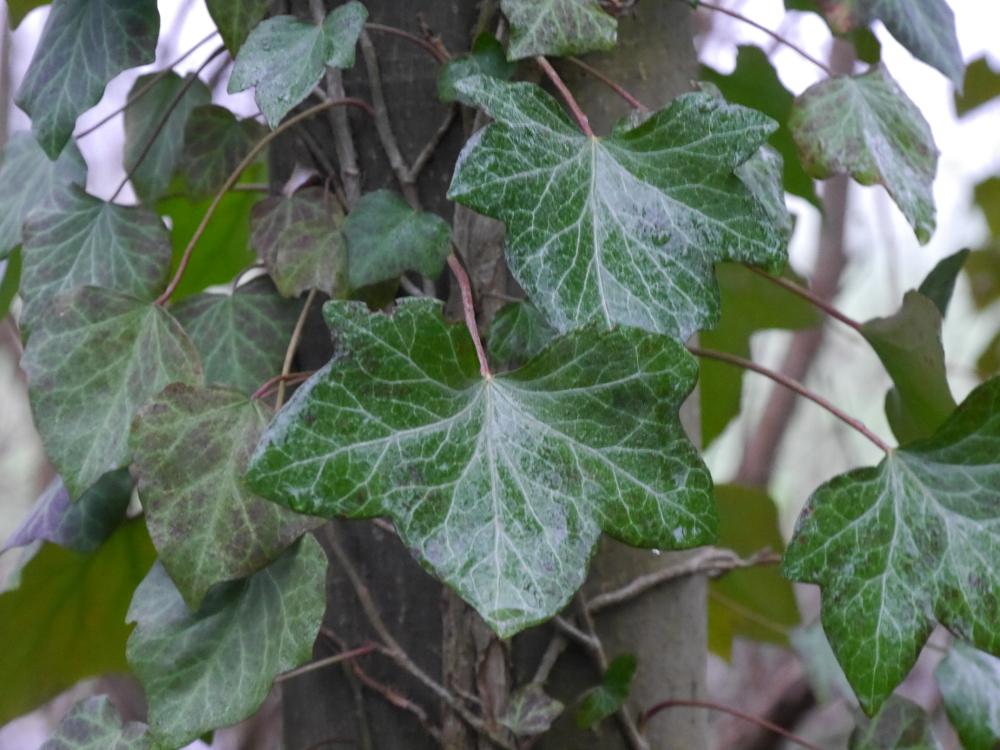 Efeu-Blätter, die durch den Regen naß sind