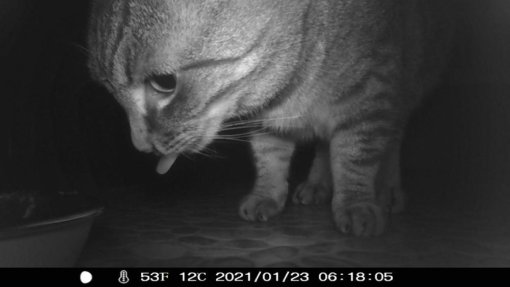 s/w-Nachtaufnahme von einer Wildkamera. Man sieht den Kopf einer Katze am Futternapf, die Katze streckt die Zunge raus.