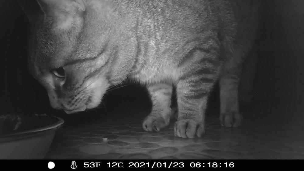s/w-Nachtaufnahme einer Wildkamera. Man sieht einen Katzenkopf kurz vor dem Futternapf, die Zunge leckt ein wenig das Mäulchen ab
