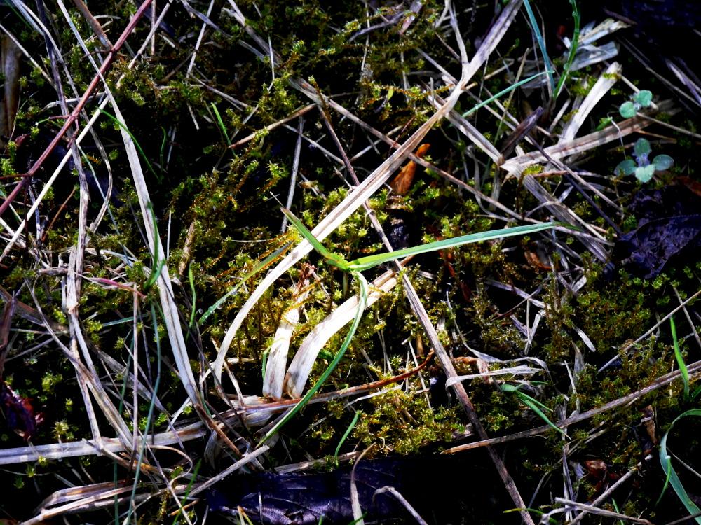 Ds Foto zeigt Moos, Gräser, trockenes Gras und ähnlices auf dem Erdboden. Aus dem Moos wächst ein frisches, grüner Gras