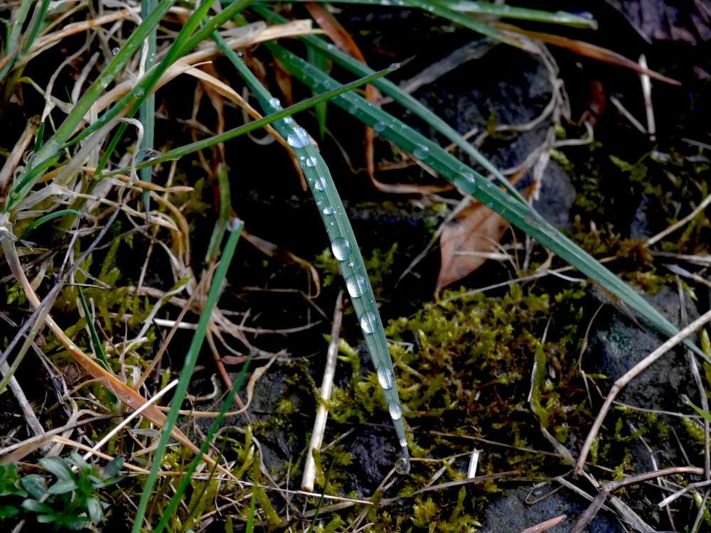 Das Foto zeigt Moos und Gras auf dem Erdboden. Auf einigen Grashalmen, insbesondere auf dem in Richtung Kamera sind Wassertropfen.