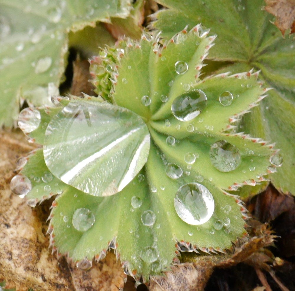 Ds Foto zeigt eine Nahaufnahme von einem grünen, nadeligen Blatt. Auf diesem liegen deutlich sichtbar Wassertropfen.