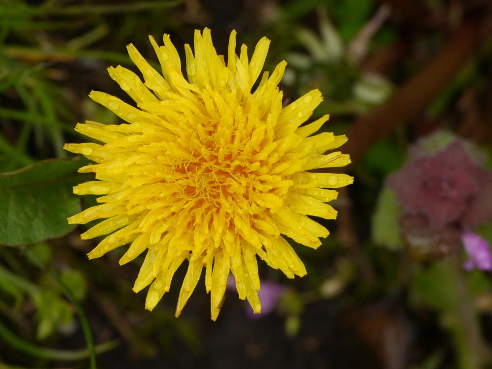 Großaufnahme von einer gelben Löwenzahn-Blüte