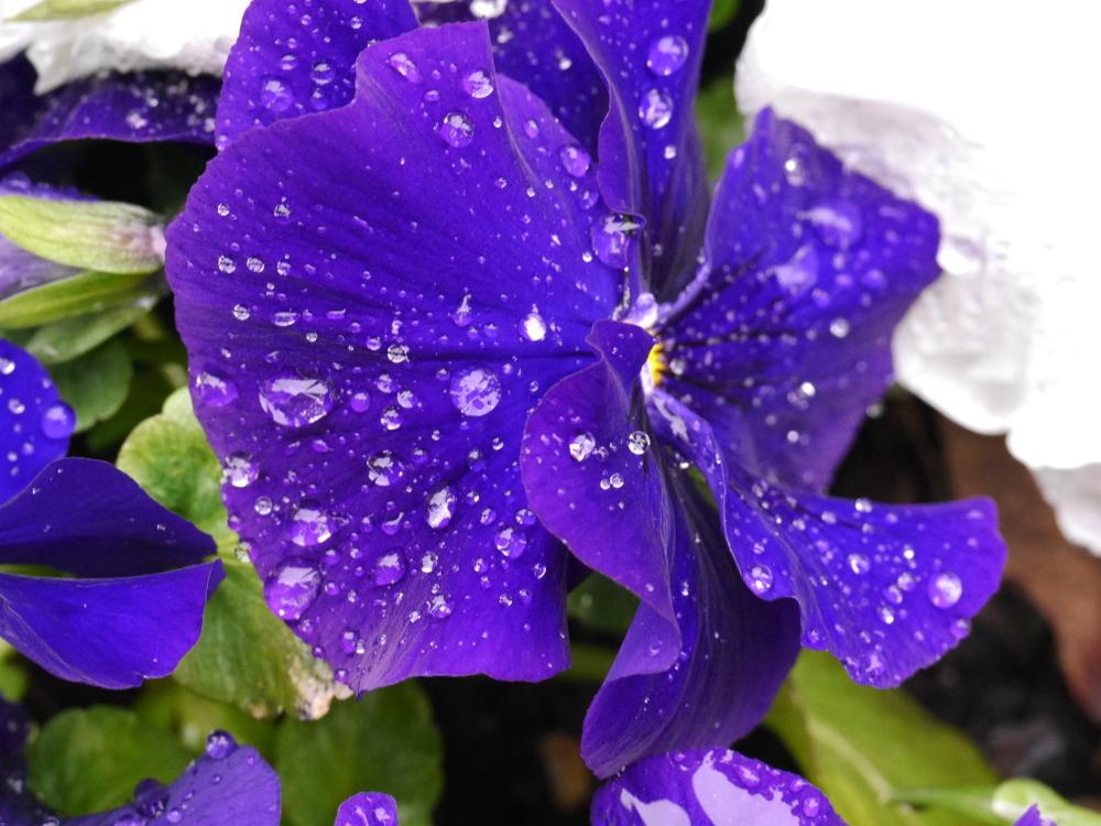 Eine teilweise unscharfe Aufnahme von einem blau-violetten Blatt eines Stiefmütterchens, auf dem Wassertropfen sind. Die Wassertropfen wirken ein wenig wie Edelsteine.