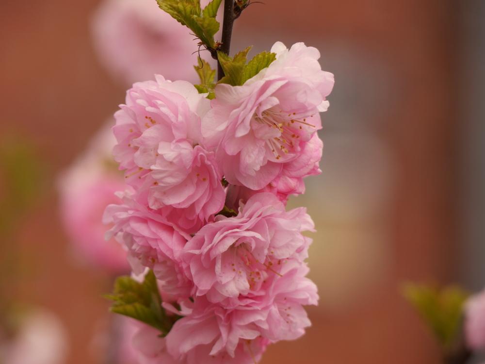 Ds Foto zeigt eine Nahaufnahme von Rosa-Weißen Blüten an einem Zweig, die Umgebung verschwindet in der Unschärfe.