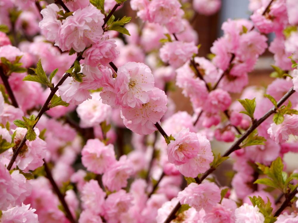 Das Foto zeigt viele Weiß-Rosa-Blüten an Ästen und Zweigen von einem Baum