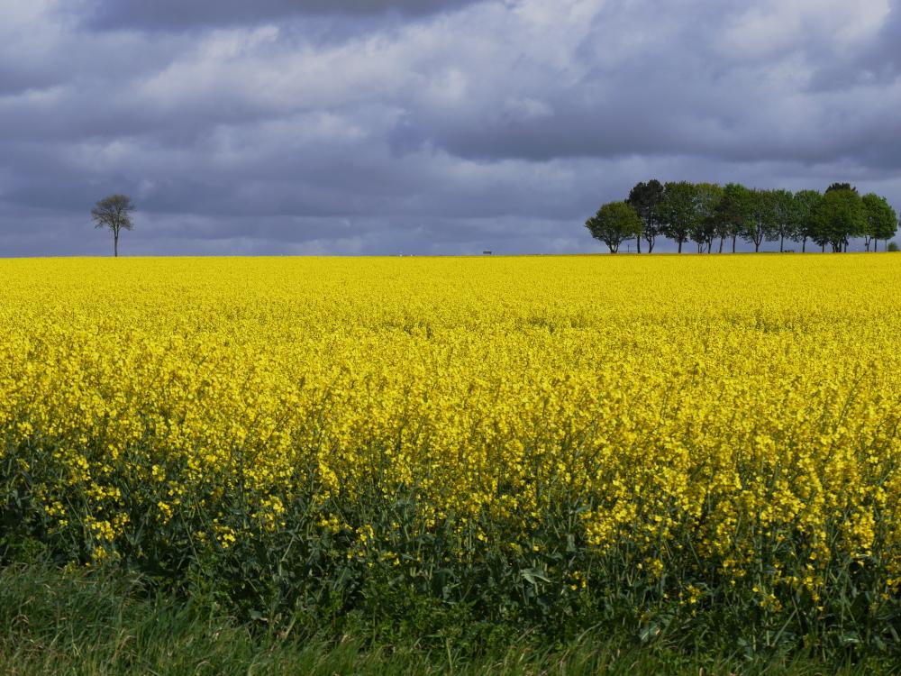 Eine Landschaftsaufnahme an einem leutend gelben Rapsfeld, über dem Feld sind dunkele Wolen und am Horizont sieht man rechts eine Reihe und links einen einzelnen Baum.