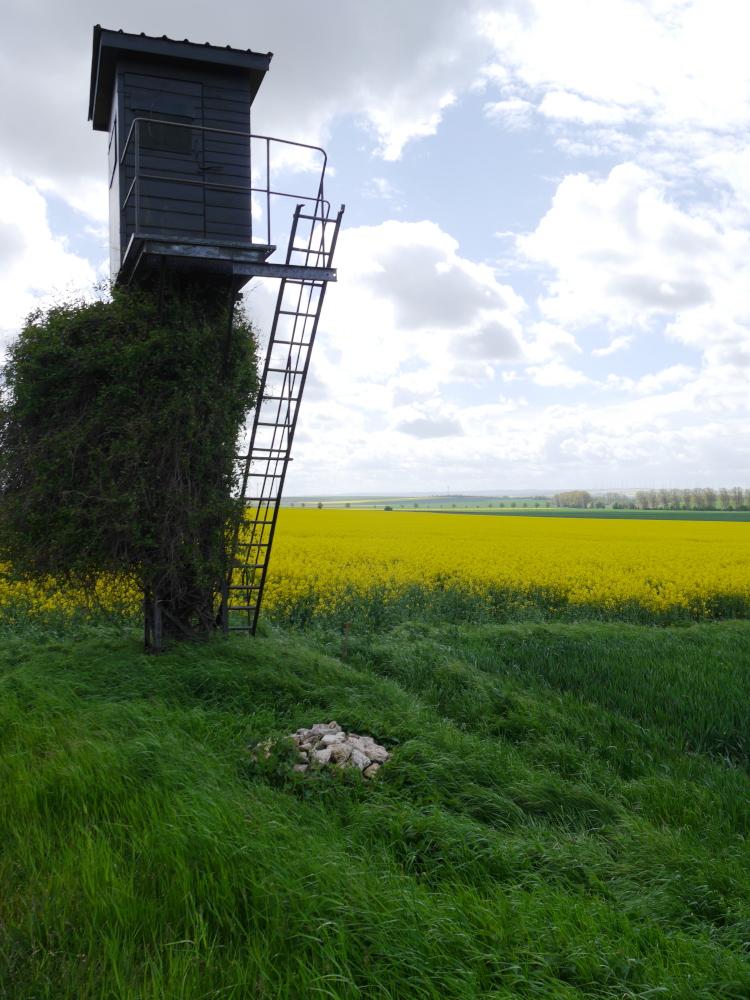Ein teilweie von Pflanzen überwucherter Hochsitz am Rand eines gelben Rapsfeldes