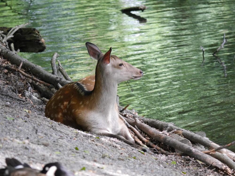 Ein Reh liegt an einem Teich, der Hals und Kopf sind aufgerichtet und es schaut aufmerksam auf das Wasser wobei auf dem Foto nicht erkennbar ist, was auf dem Wasser los ist.