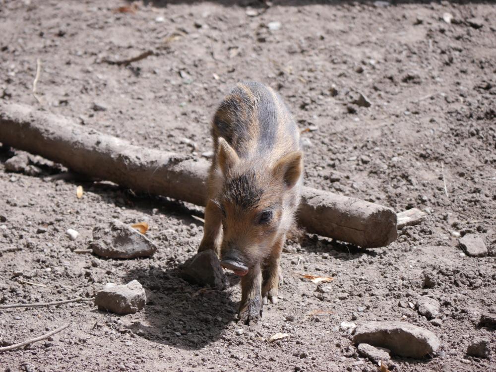 """Ein kleines Wildschwein-Kind (Frischling) das über die Erde läuft. Das Fell ist noch braun-schwarz als """"Tarnung""""."""