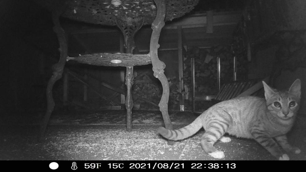 Das Foto zeigt eine s/w-Nachtaufnahme einer automatischen Wildkamera, die Aufnahme ist laut Eindruck am unteren Bildrand am 21.08.2021 um 22:38:13 Uhr entstanden. Es zeigt eine Szene auf einem Hof, man sieht einen Metalltisch, im Hintergrund ein Brennhhholzlager und Leitern. Und im Vordergrund im rechten, unteren Viertel des Bildes eine kleine grau-schwarz getigerte Katze mit weißen Pfoten, die wie erschrocken in Richtung der Kamera blickt.