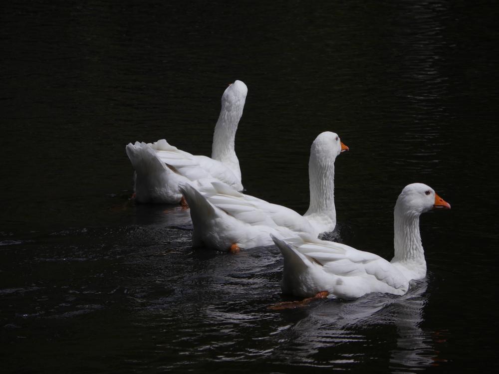 Drei Schwäne, die in etwa auf einer Linie nebeneneinander von links unten nach rechts oben durch das Bild schwimmen. Das Wasser ist fast schwarz, so dass das strahlende weiße Gefieder der Schwäne einen leuchtenden Kontrast schafft.