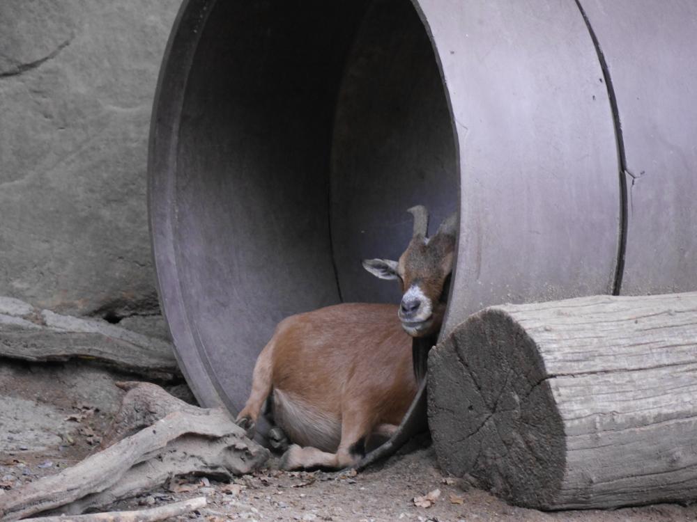 Das Foto zeigt ein sehr großes Rohr, welches auf dem Boden neben einem Baumstamm liegt. In dem großen Rohr liegt eine braune Ziege, welche sich an die Rohrwand gelehnt hat und zu schlafen scheint.
