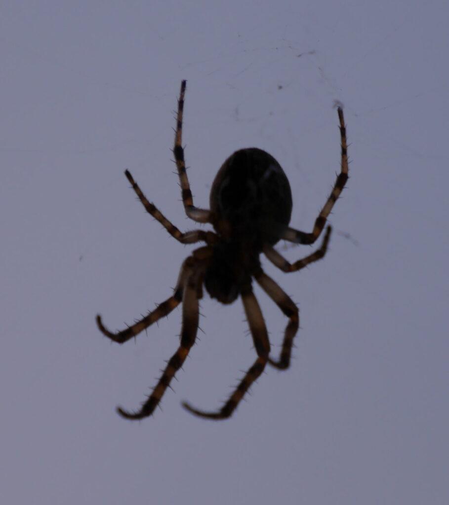Das Foto zeigt die Nahaufnahme einer Spinne. Man kann die 8 Beine und die Häarchen an den Beinen sowie die schwar/helle Einfärbung der Beine gut erkennen.